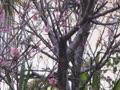 我が家の桜開花と野鳥たち(17日目)最終日